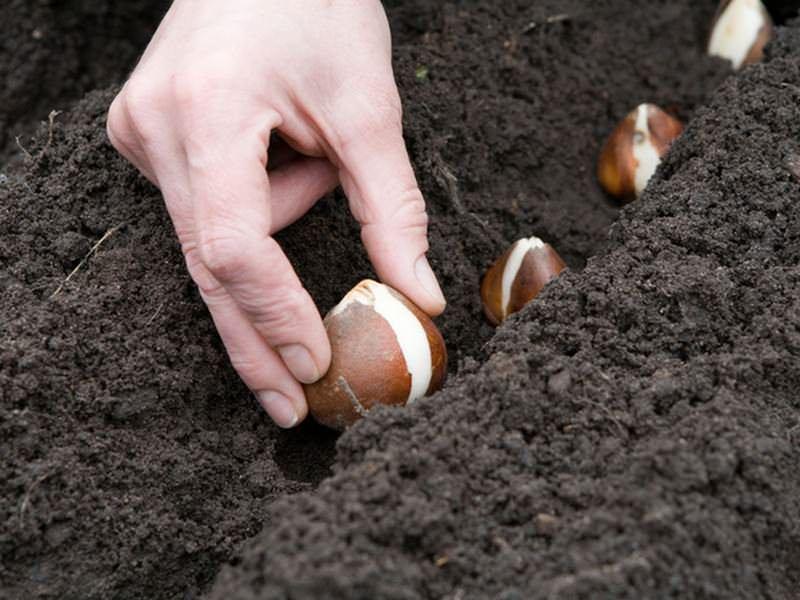 Период от полной до новой луны подходит для посева луковиц и клубнелуковиц